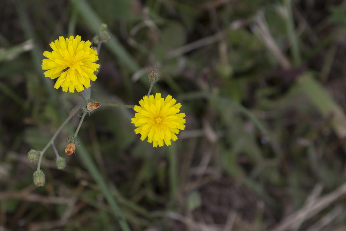 Two yellow flowers in a shallow depth of field.