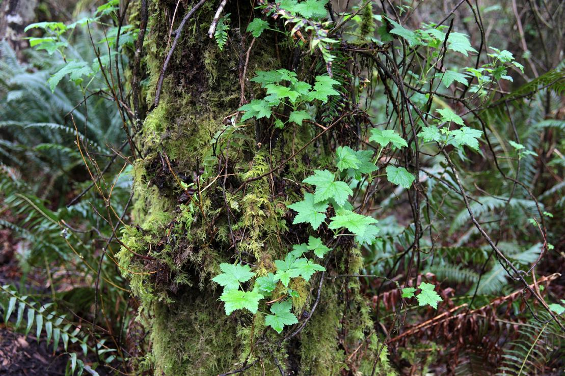 Moss and other various plants growing on the side of tree. Taken near Tillamook, Oregon.