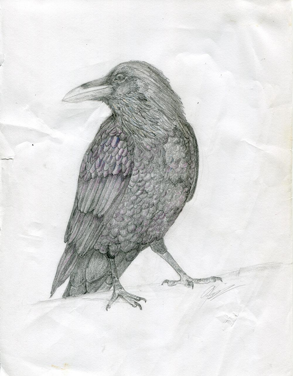 Drawing of a crow or raven on very wrinkly paper