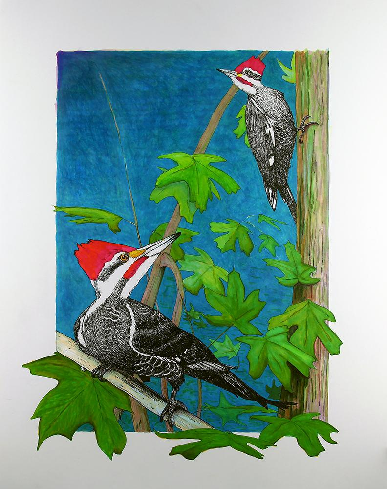 Two pileated woodpeckers in some maple trees.